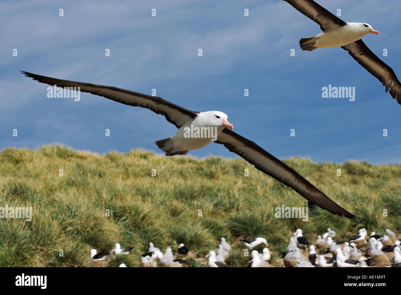 Black Browed Albatross Diomedea melanophris Adult flying over large colony Steeple Jason Island Falklands - Stock Image