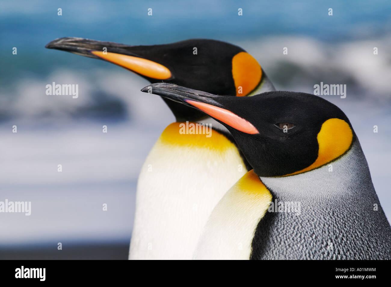 King penguin Aptenodytes patagonicus South Georgia Island Stock Photo