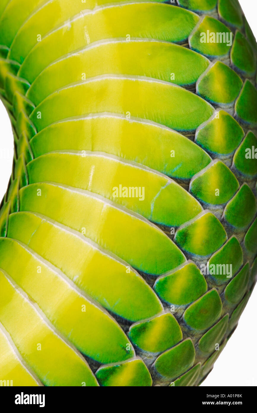White lipped Green Pit Viper Trimeresurus albolabris detail of belly scale Indian Sub continent North Southeast Stock Photo