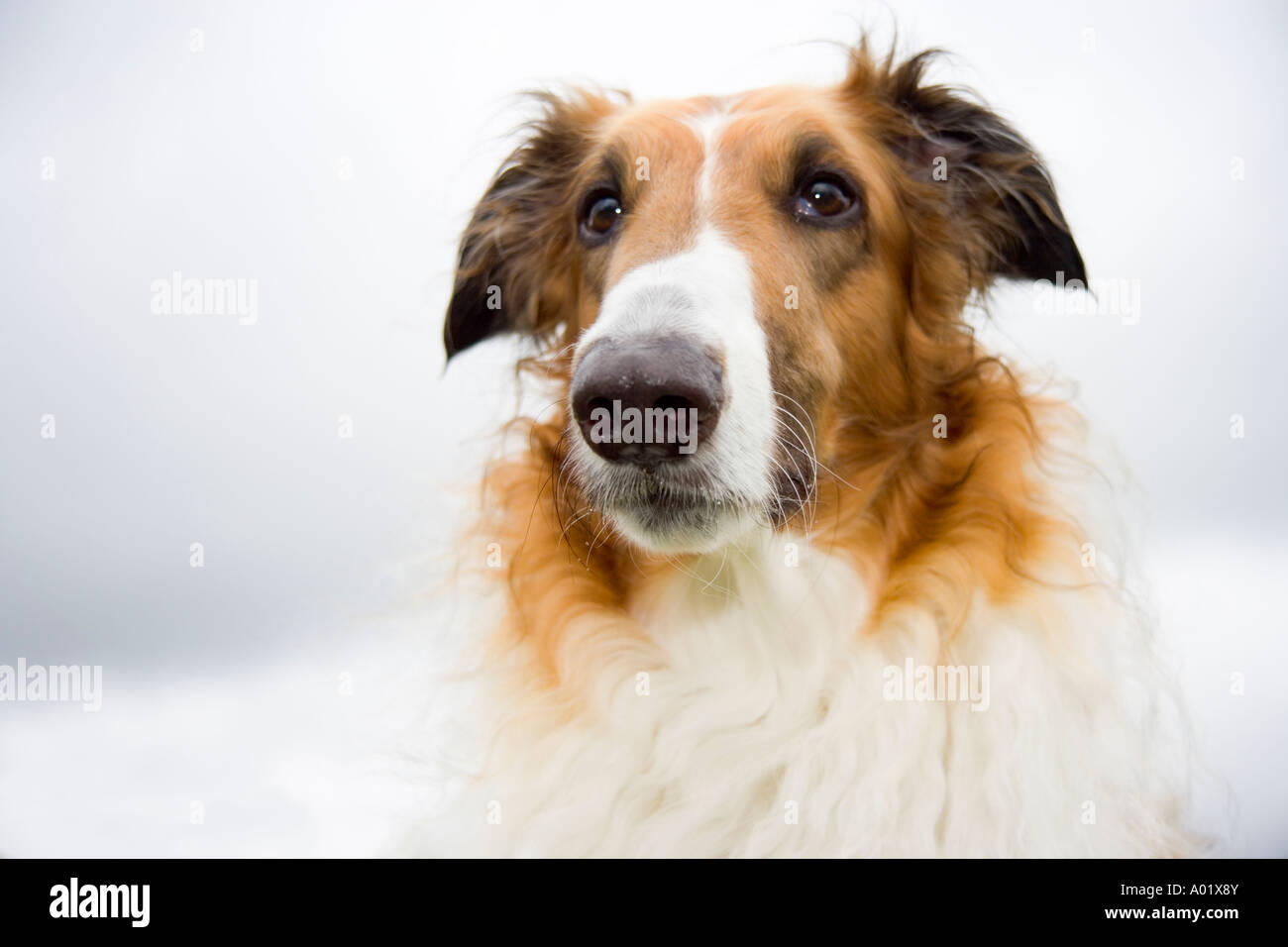 Portrait of Borzoi dog - Stock Image