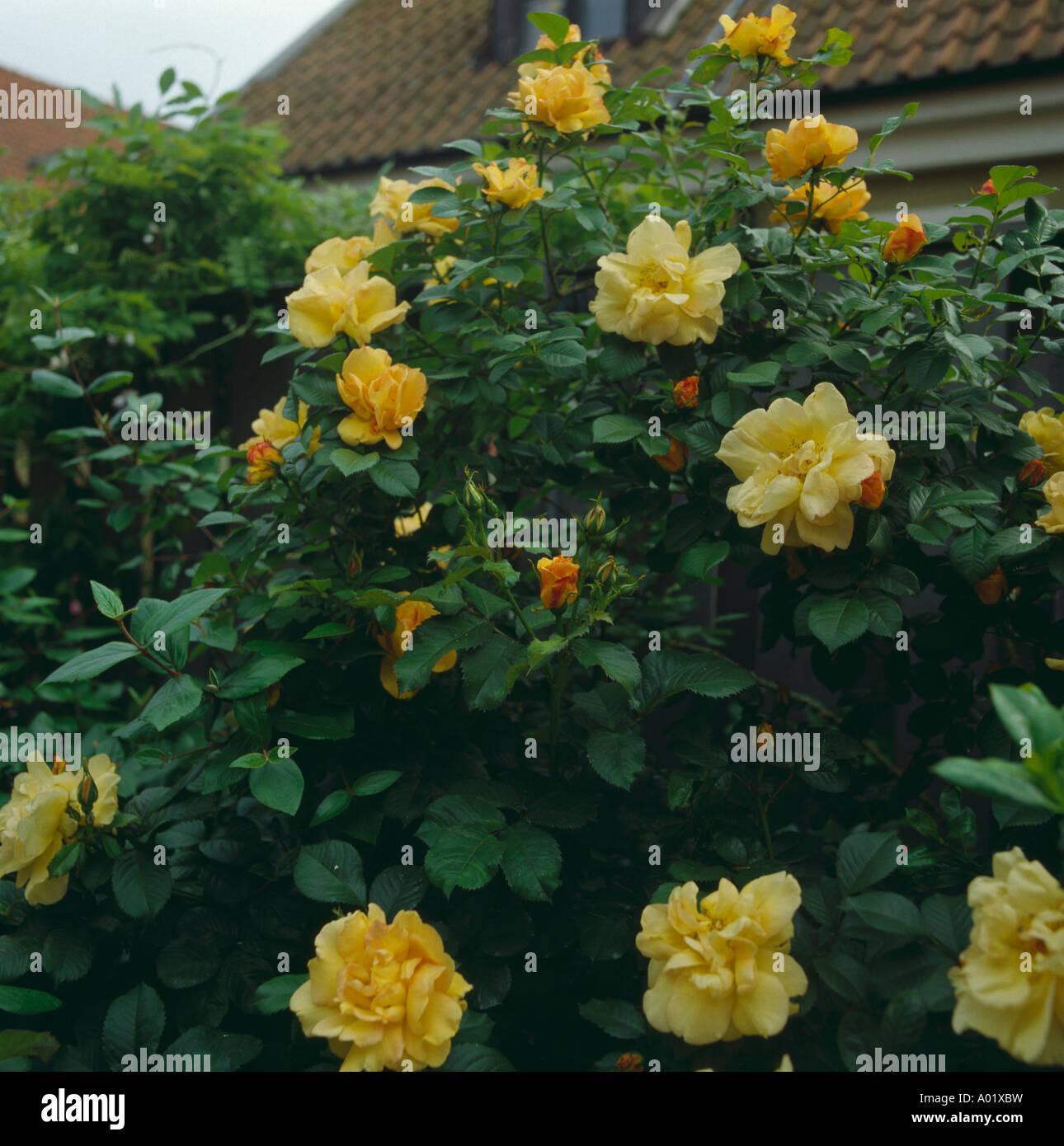 Rose Rampicanti Senza Spine close of yellow climbing rose stock photo: 9852780 - alamy