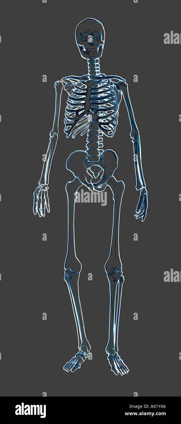 Human Skeleton Model Hips Stock Photos Human Skeleton Model Hips