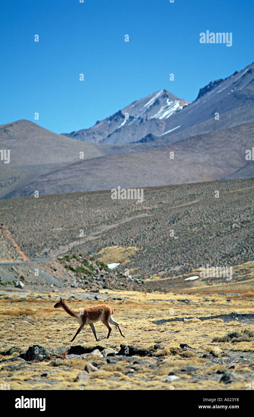 Vicuña against a high altitude andean backdrop A species of camelid related to the llama and alpacar Lauca National Park Chile - Stock Image