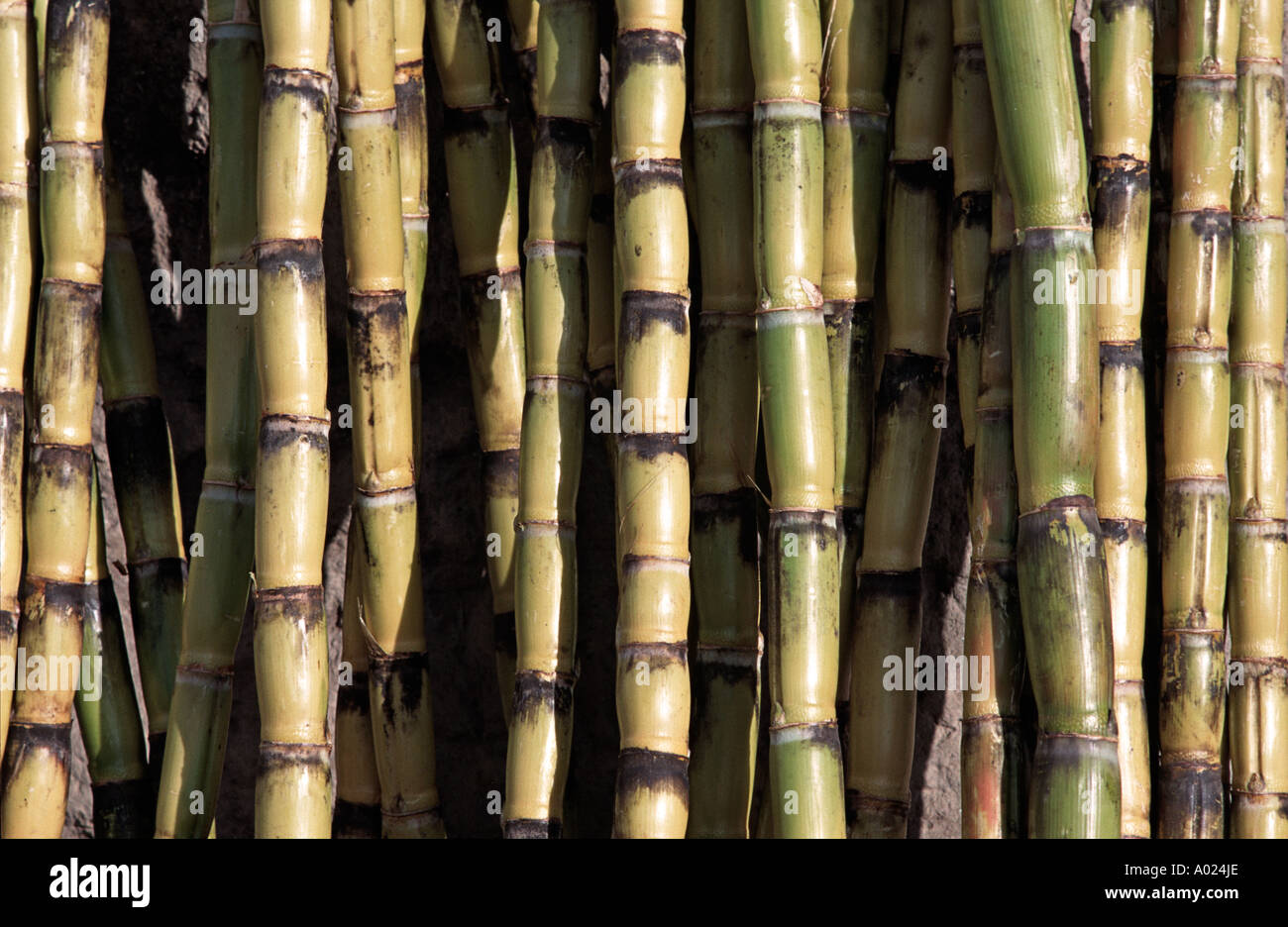 Stacked sugar cane for sale at market Otavalo Ecuador - Stock Image