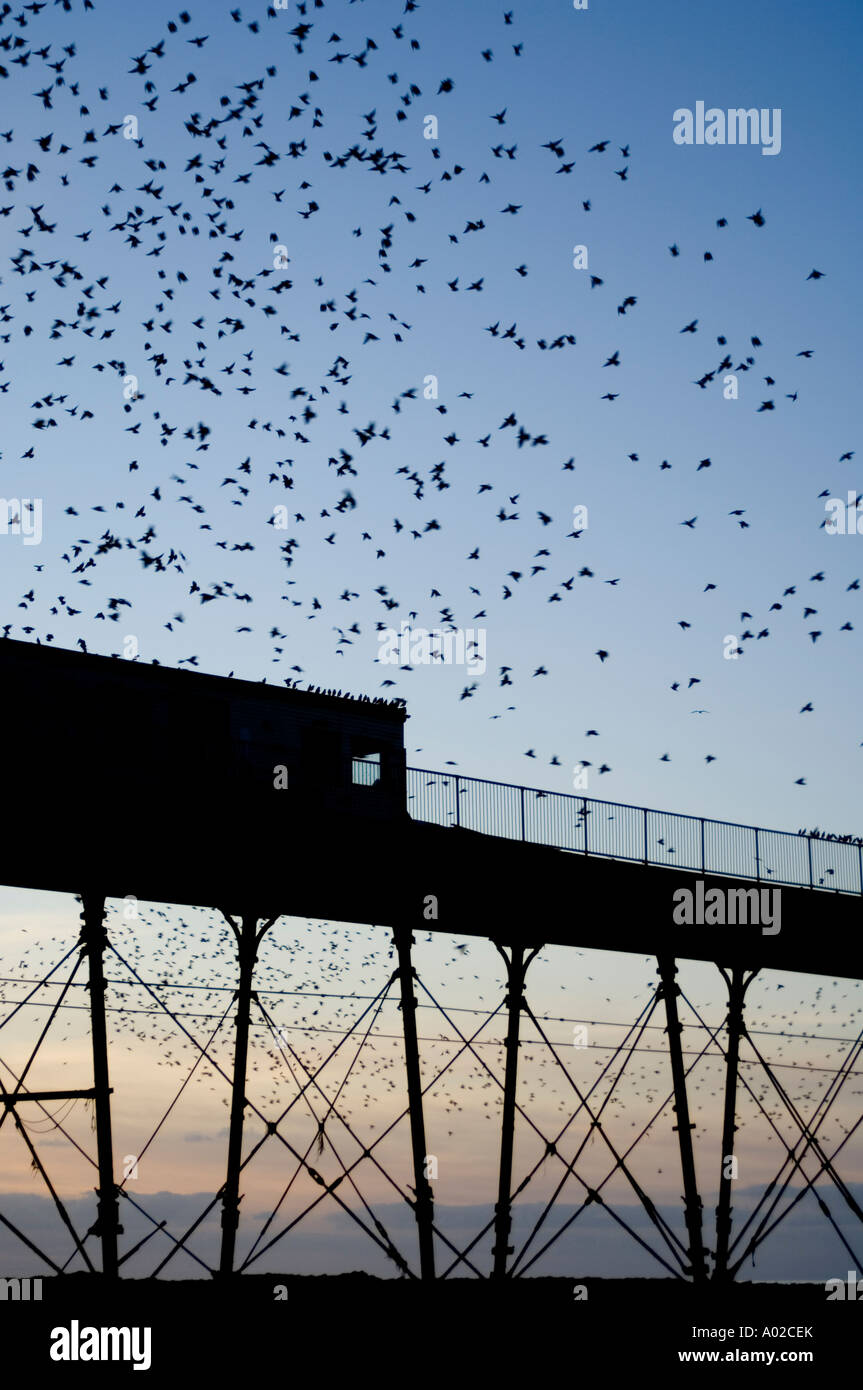 Murmuration of starlings roosting on the Royal Pier Aberystwyth Wales UK,  one of only 3 urban roosts in UK - Stock Image
