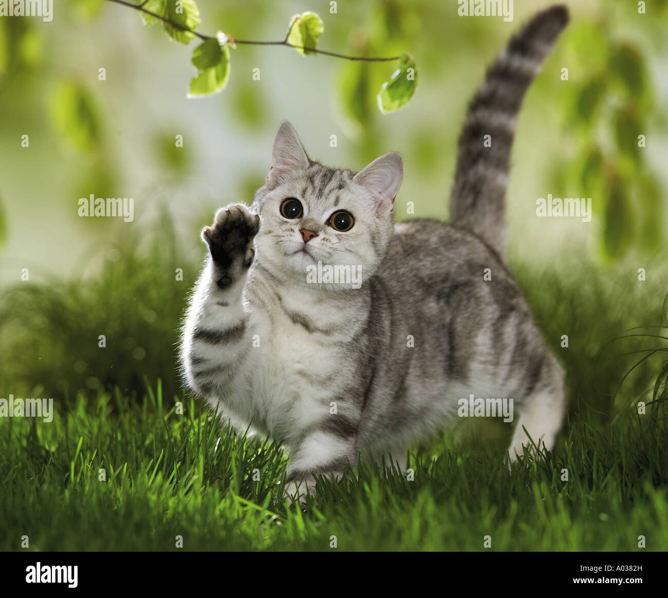 British Shorthair cat - playing with twig Stock Photo