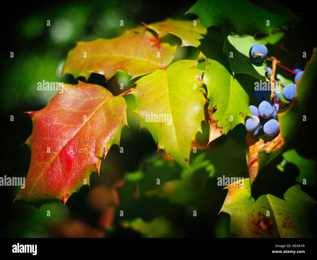 Holly family leaves and berries showing autumn colors and gradual decay in the transition to fall. Stock Photo