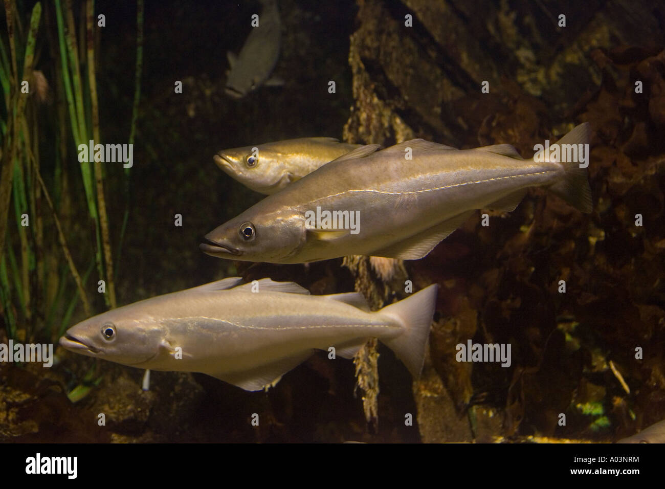 Pollack Pollachius pollachius a member of the cod family Aquariumgalicia Reboredo Galicia Spain - Stock Image