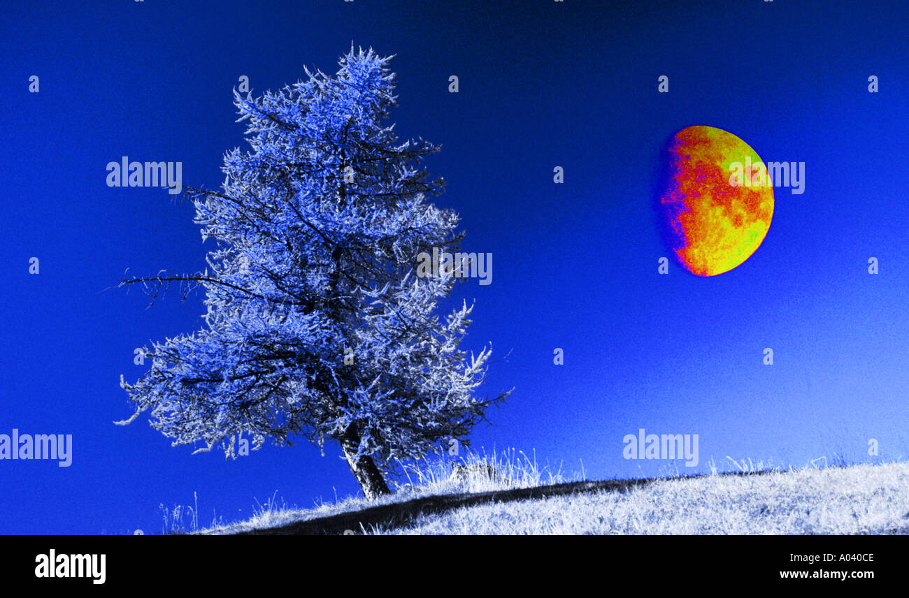 larchtree and half moon - Stock Image