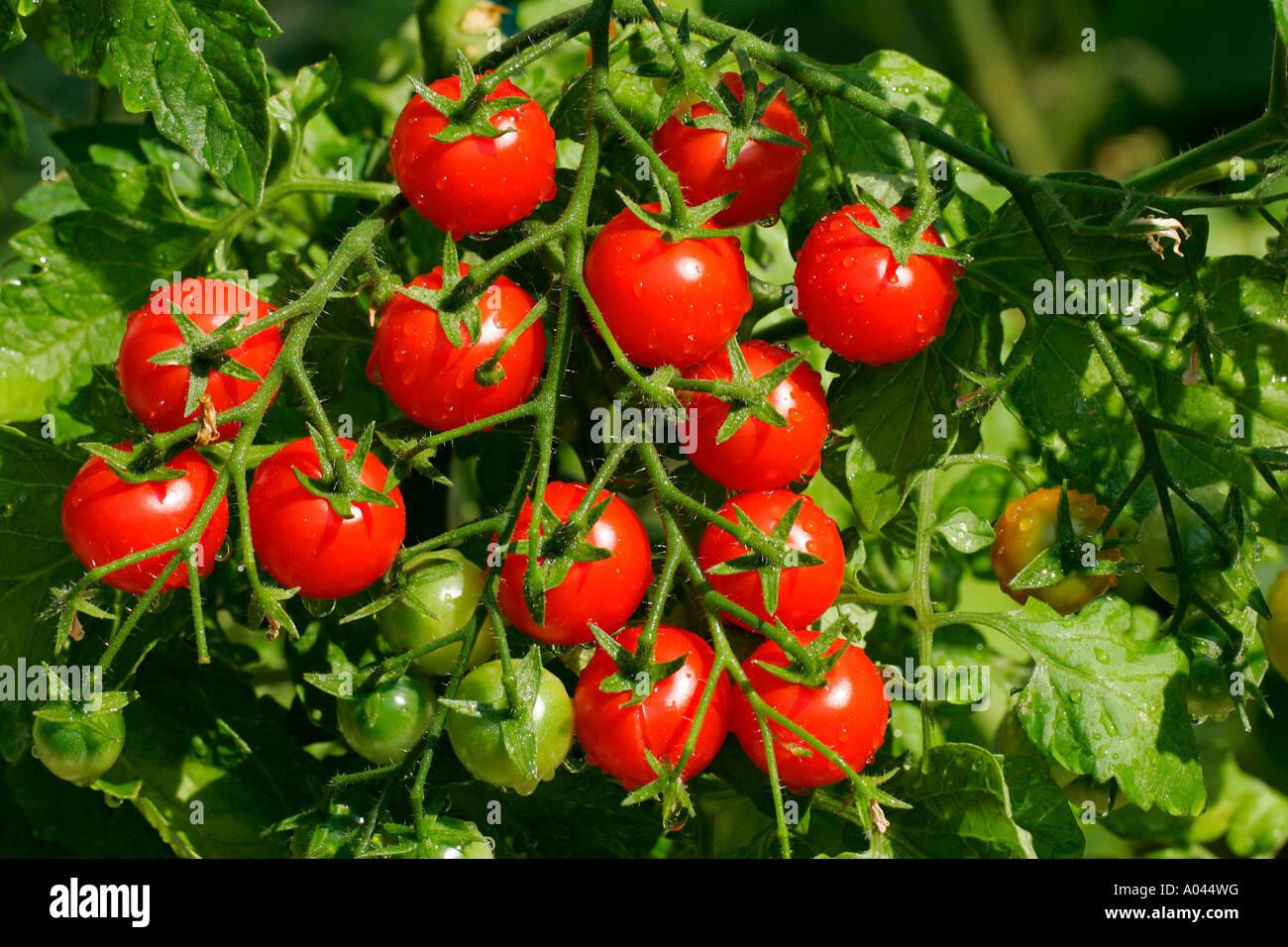 Tomatoes Tomato Dolce Vita (Lycopersicon esculentum var. esculentum) (Solanum lycopersicum) - Stock Image