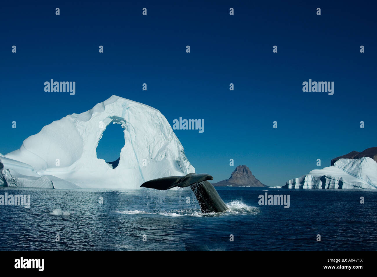 Diving Spermwhale in front of Iceberg, Umanak, Greenland - Stock Image
