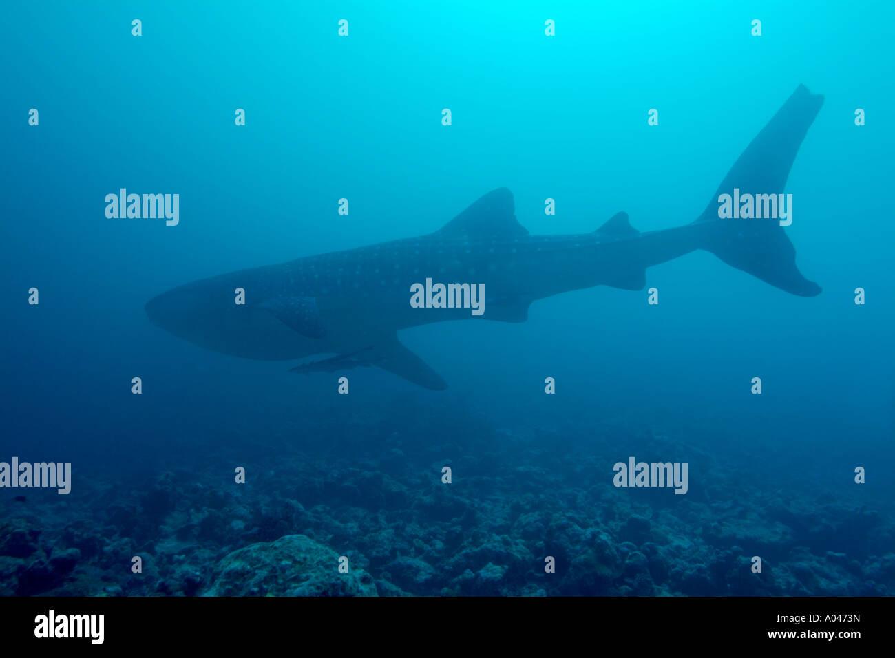 Maldives ari atoll holliday out a whale shark  swimming rhincodon typus - Stock Image
