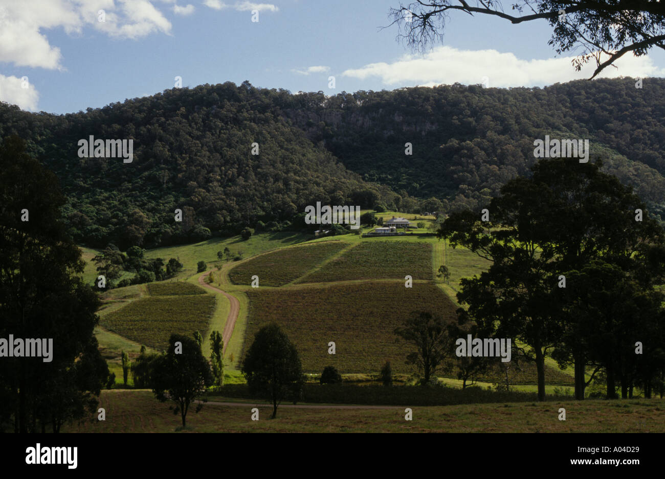 Vineyards in Mount View rd Hunter Valley Australia - Stock Image