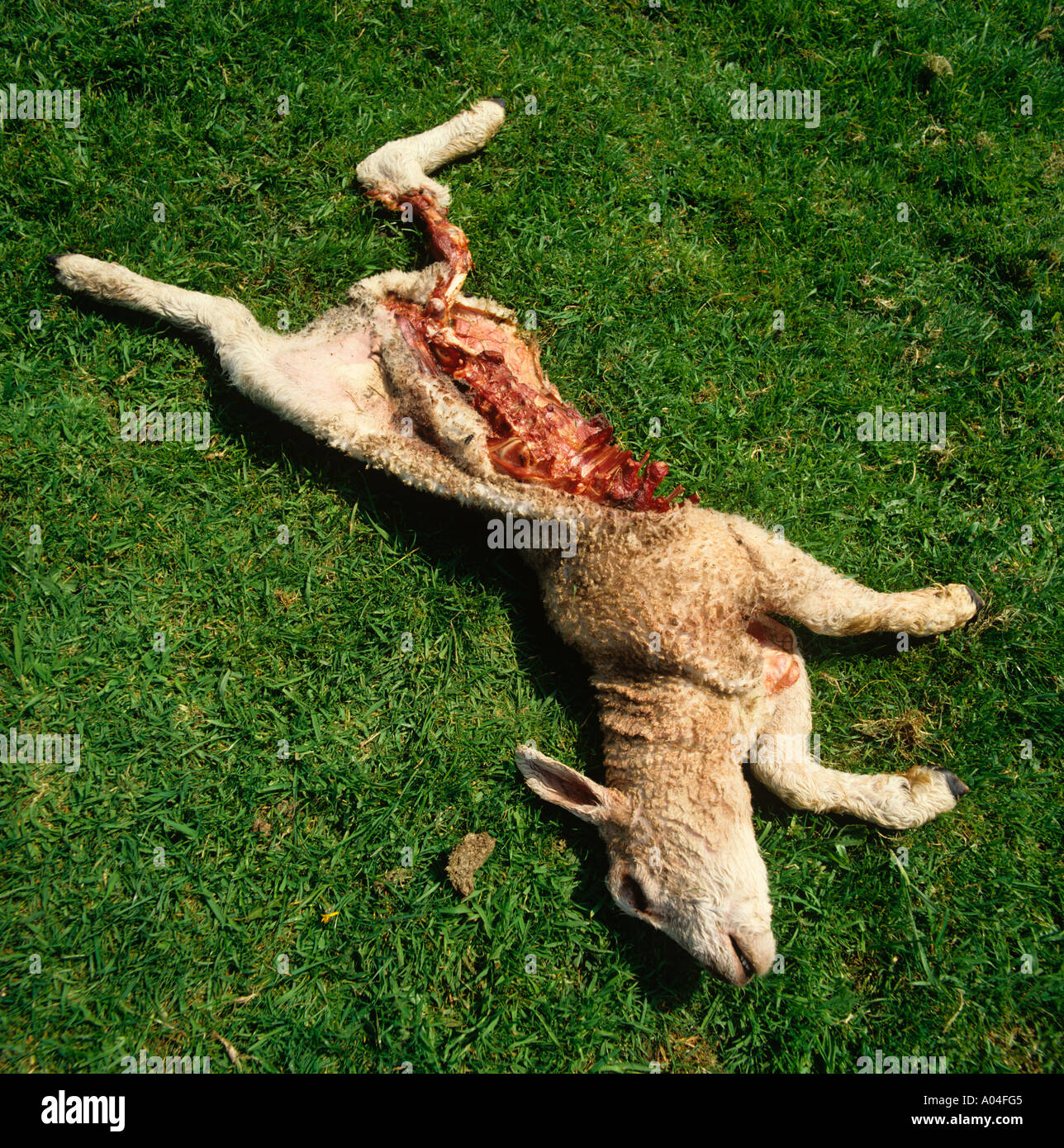 Farming Lamb after being savaged by a Badger - Stock Image