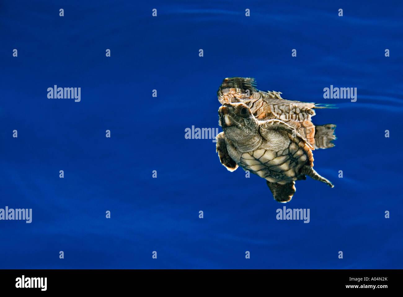 Loggerhead sea turtle hatchling, Caretta caretta, in open water, Sargasso Sea, North Atlantic Ocean - Stock Image