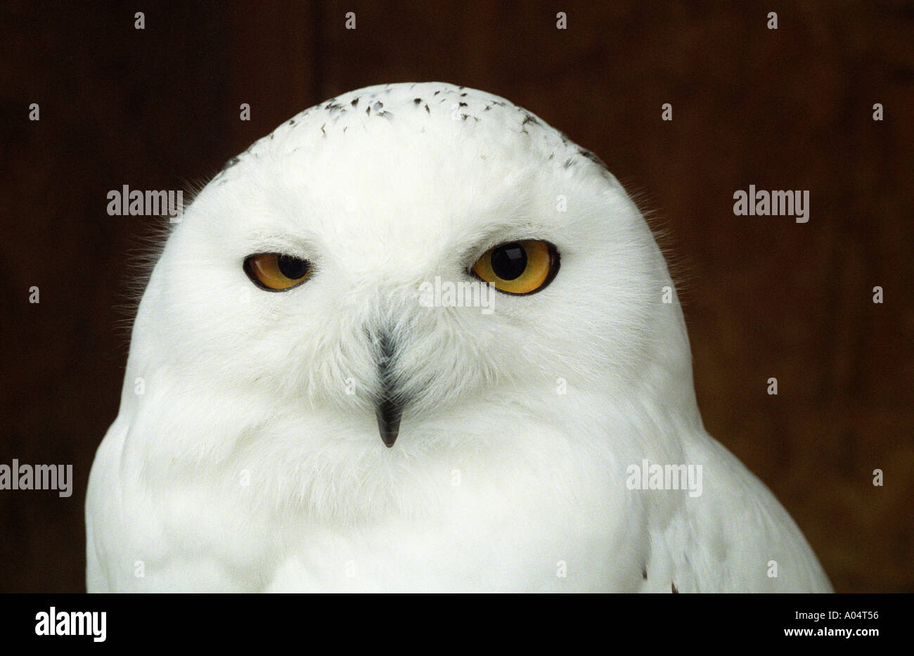 MALE SNOWY OWL AT THE RAPTOR FOUNDATION NORFOLK ENGLAND  2005 - Stock Image