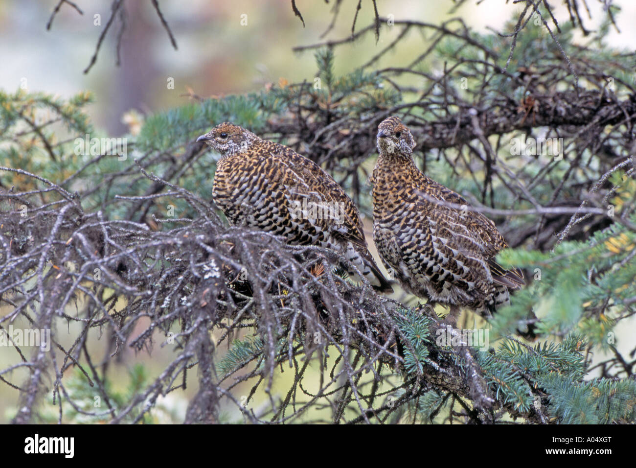 Spruce Grouse (Falcipennis canadensis) two females perched on branch of a coniferous tree - Stock Image