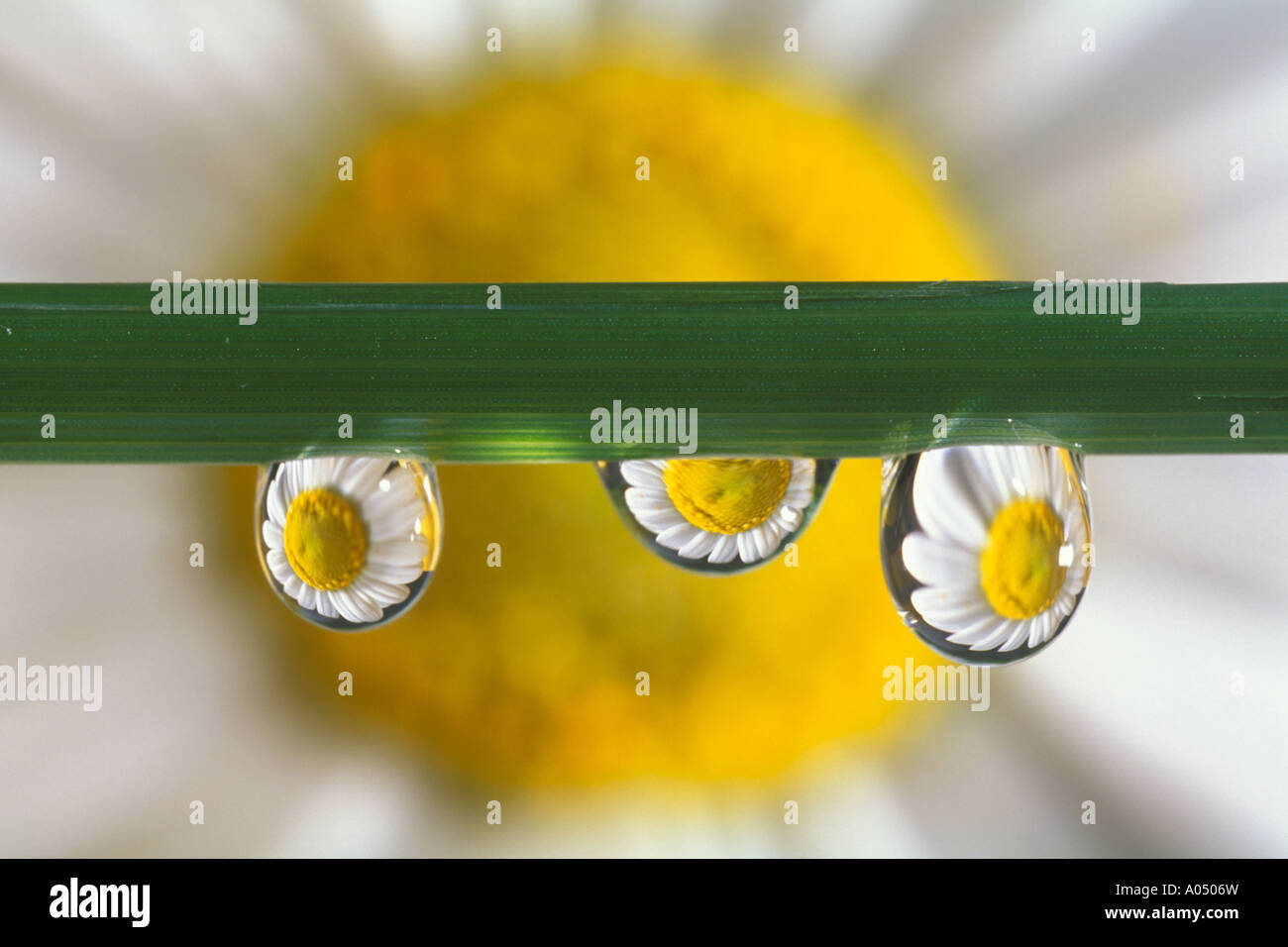 Daisy flower reflected in three drops of water - Stock Image