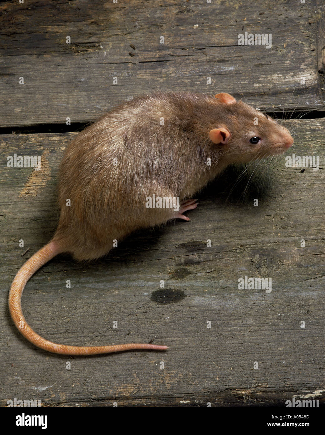 Brown rat - Stock Image