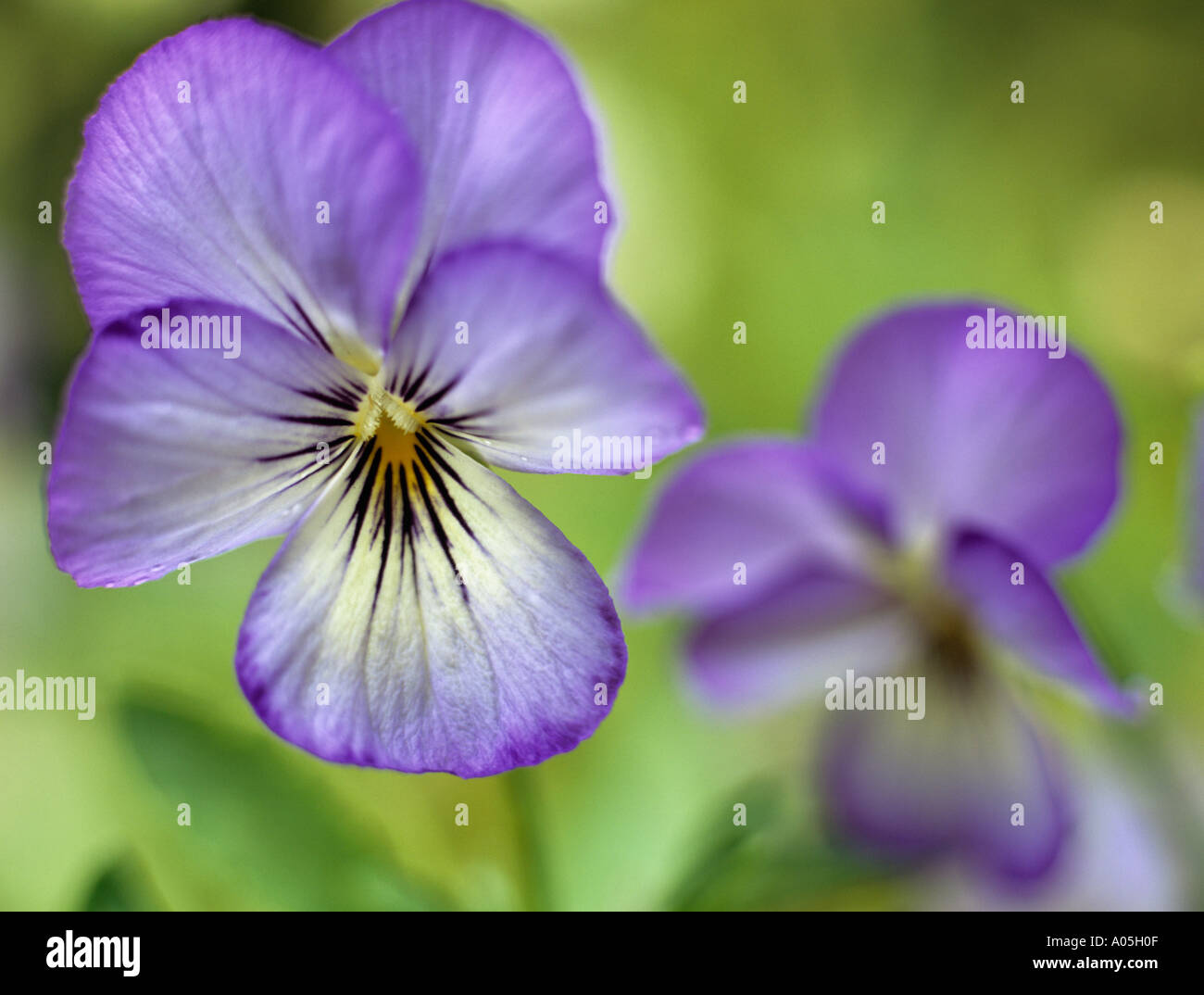 PURPLE VIOLETS Viola Magnifico Selectively focused on the foreground flower Stock Photo