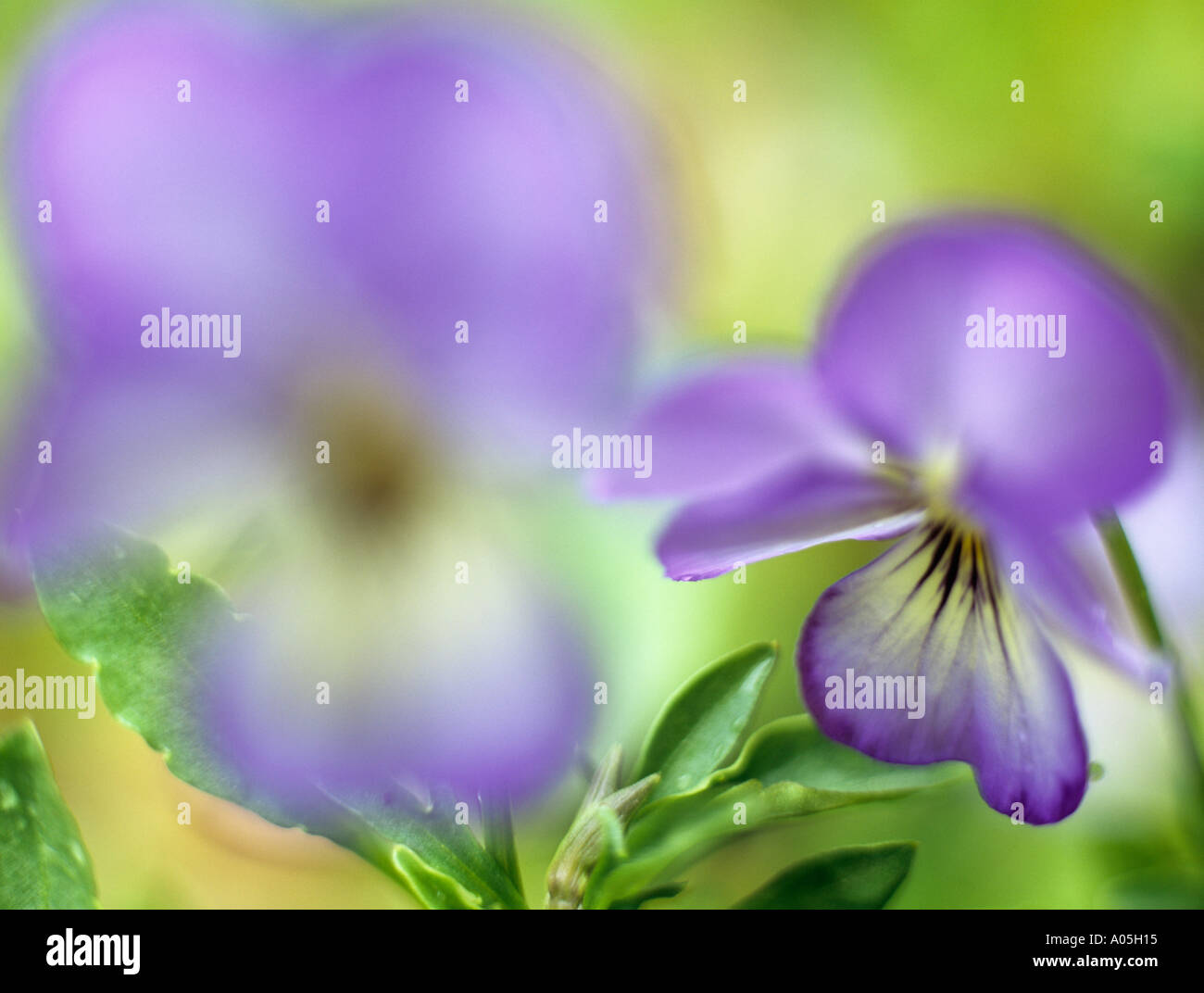PURPLE VIOLETS Viola Magnifico Selectively focused on the background flower Stock Photo