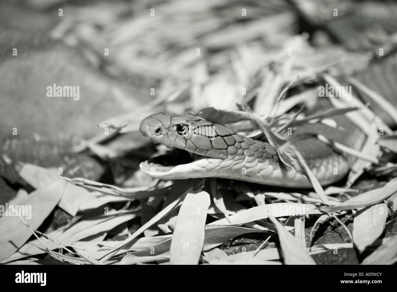 taipan snake in leaf litter - Stock Image