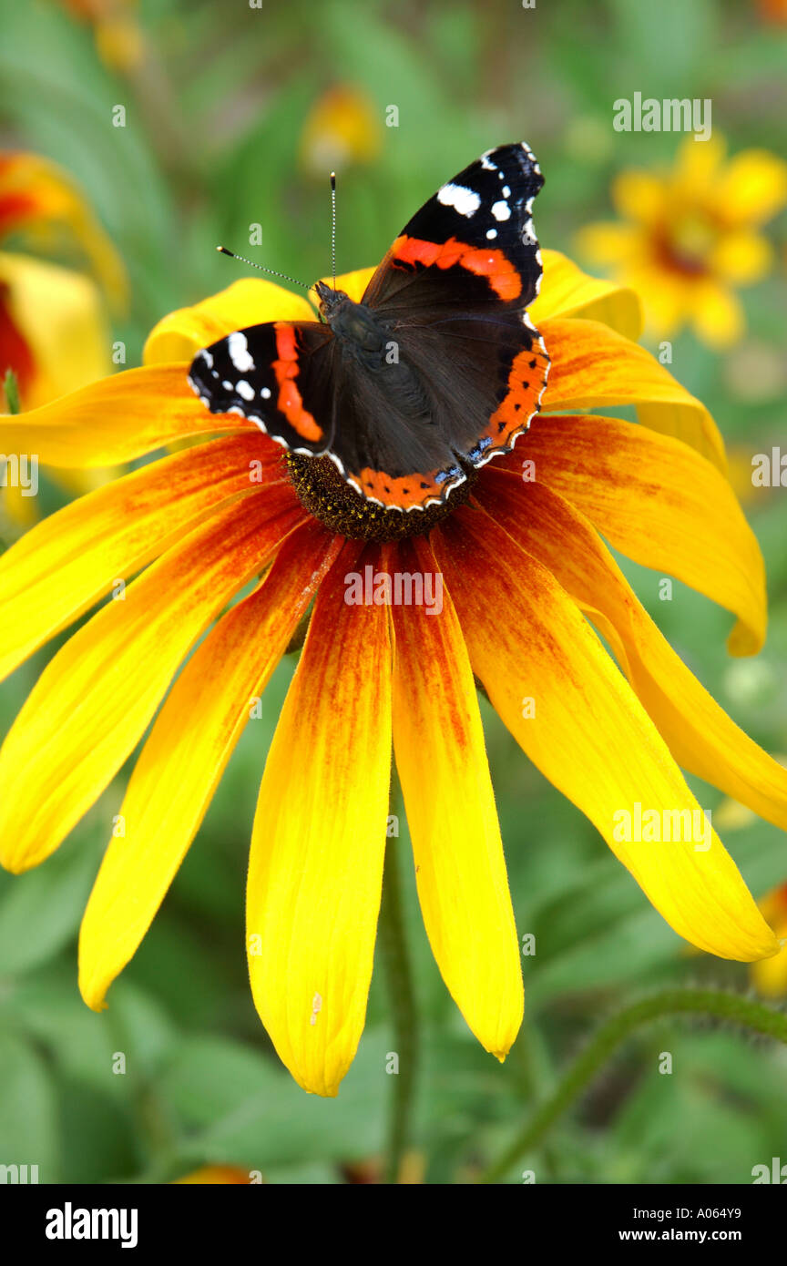 A butterfly rests on the anther of a flower Admiral - Stock Image