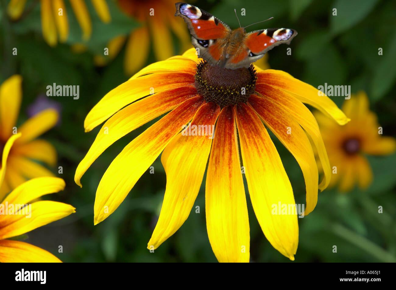 A butterfly rests on the anther of a yellow petaled flower peacock butterfly - Stock Image
