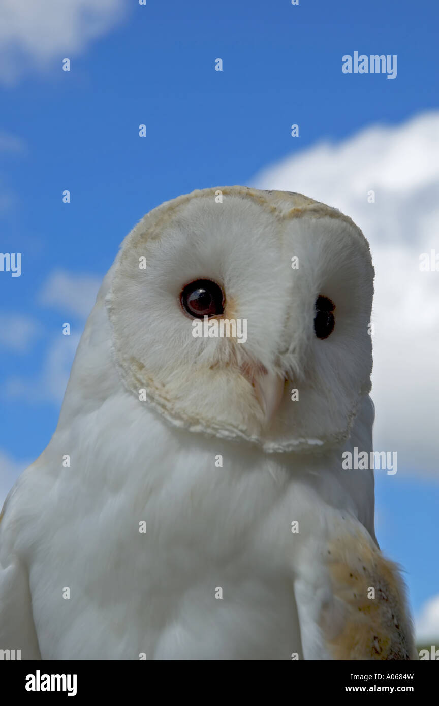 a young barn owl - Stock Image