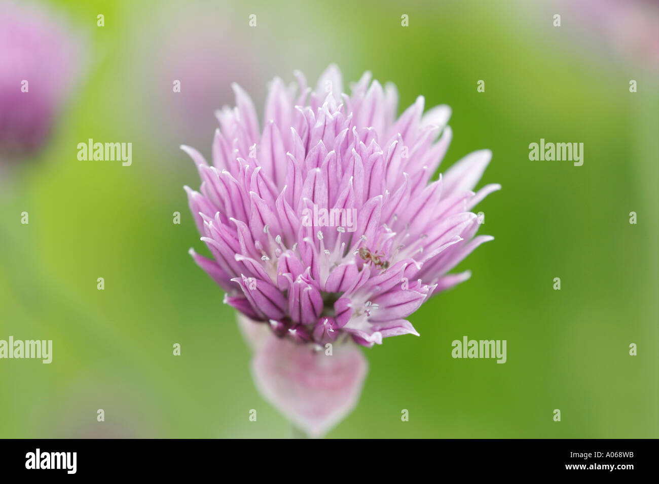 Close up of a pink chive flower Stock Photo