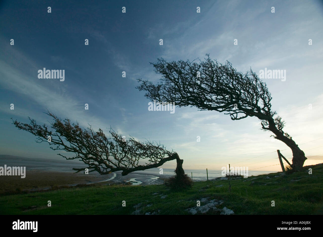 a Hawthorn tree bent by the wind,  on Humphrey Head Point, Grange Over Sands, Cumbria, UK - Stock Image