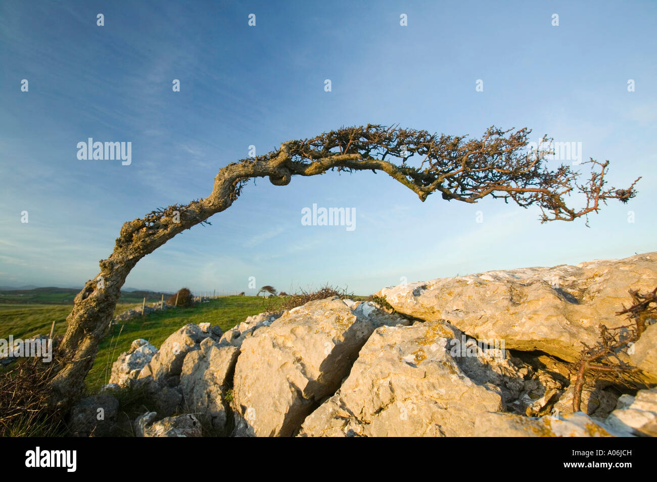a Hawthorn bent by the prevailing winds on humphrey Head Point, Grange, Cumbria, UK - Stock Image