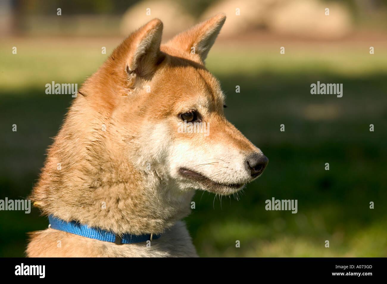 Shiba Inu purebred dog - Stock Image