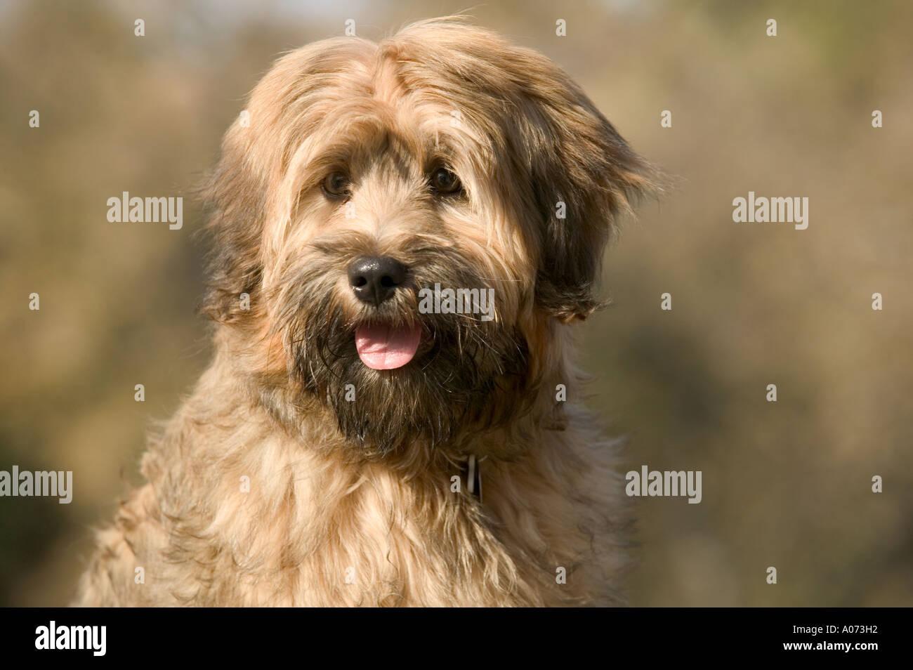 Tibetan Terrier purebred dog model released image - Stock Image