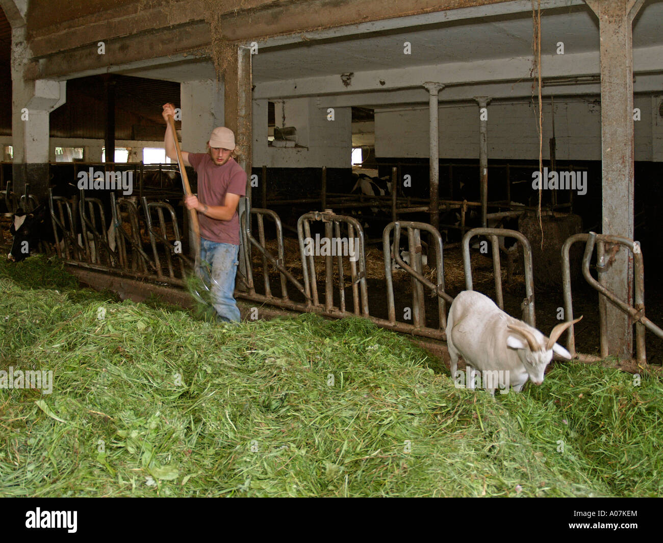 young farmer accompanied from goat feeding cows in cowshed with fresh hay - Stock Image