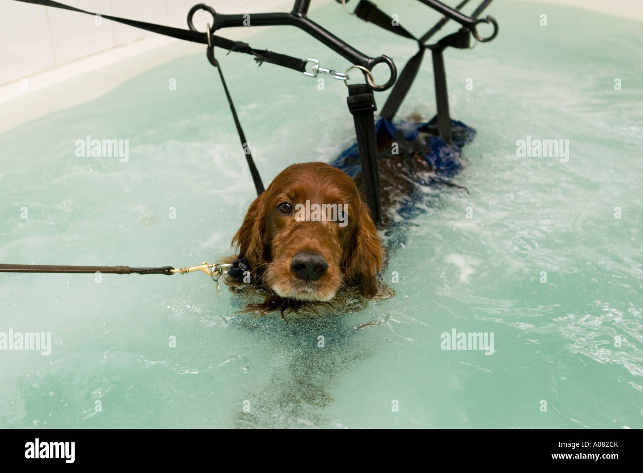Dog in harness to hydrotherapy pool Stock Photo