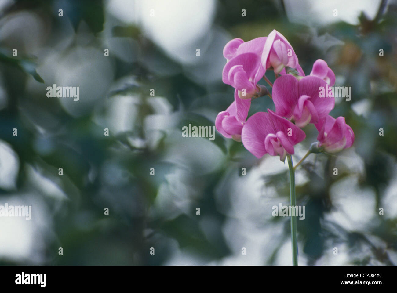 A beautiful orchid with out of focus background - Stock Image