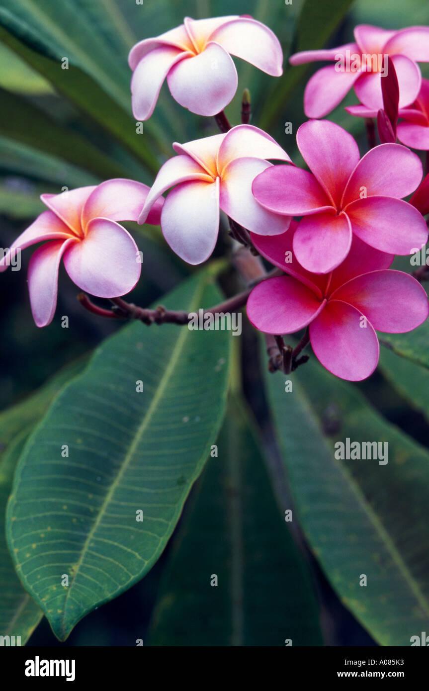 Blooming plumeria tree Maui West Maui Mountains Hawaii USA UNITED STATES - Stock Image