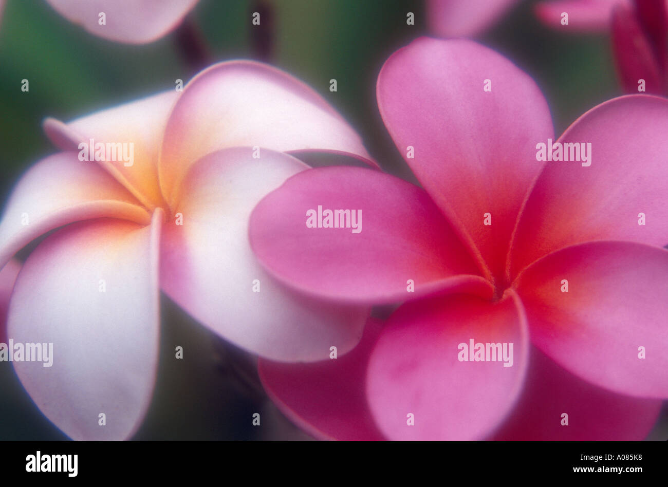Blooming plumeria tree flowers symbol of Hawaii Maui West Maui Mountains Hawaii USA UNITED STATES - Stock Image