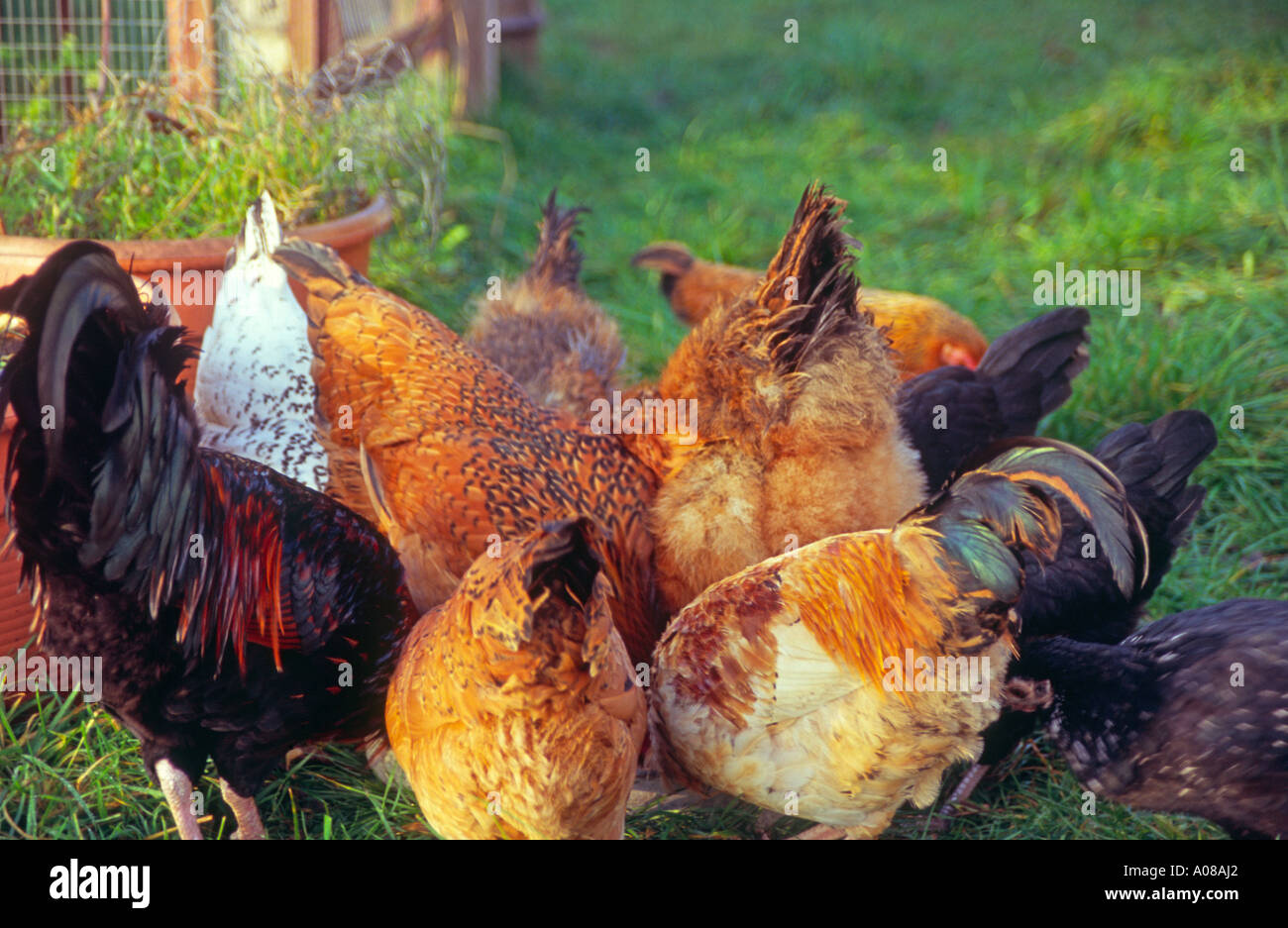 Free range chickens pecking at their feed Stock Photo