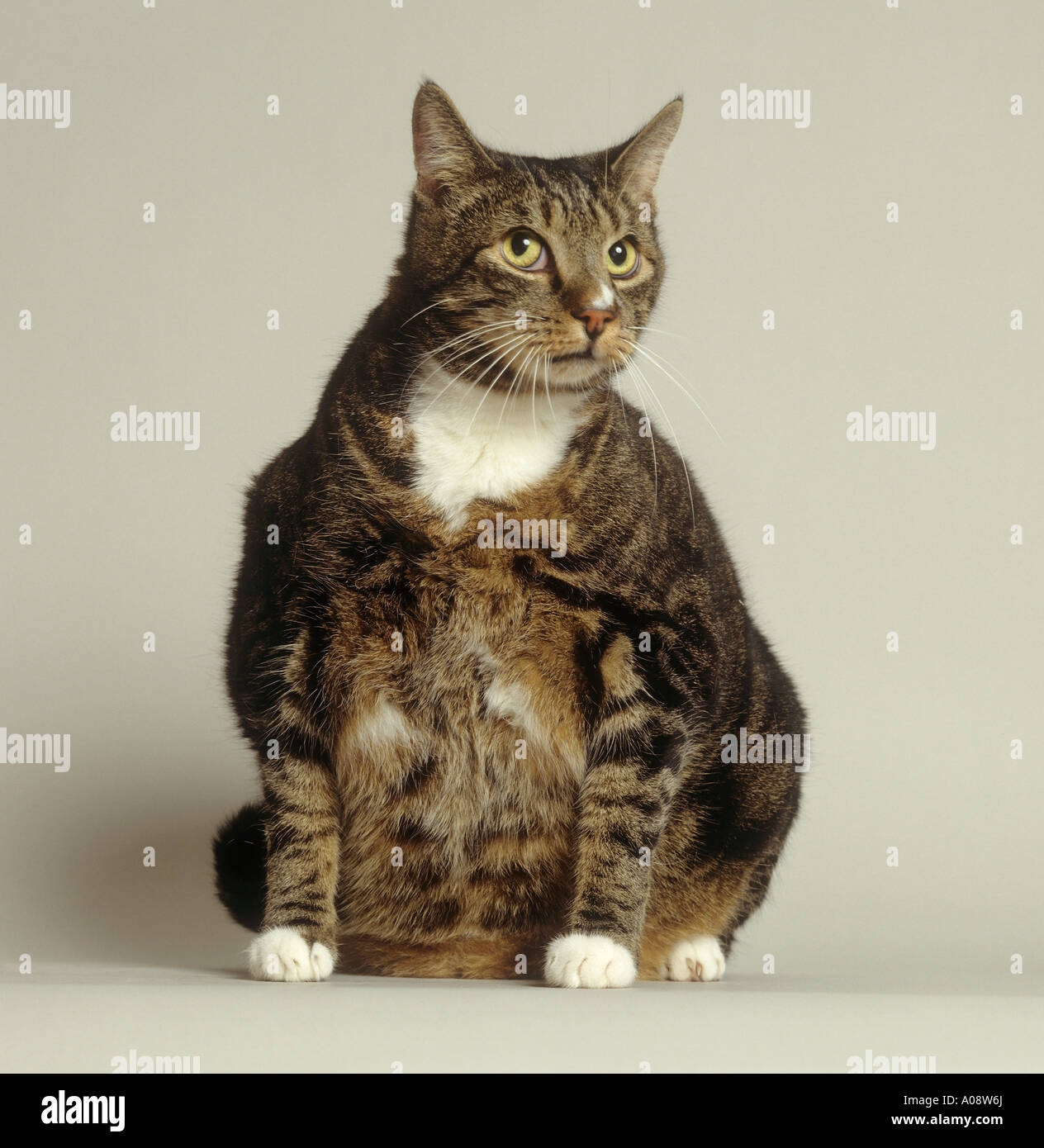 Very Fat Cat Pets Stock Photos & Very Fat Cat Pets Stock Images ...