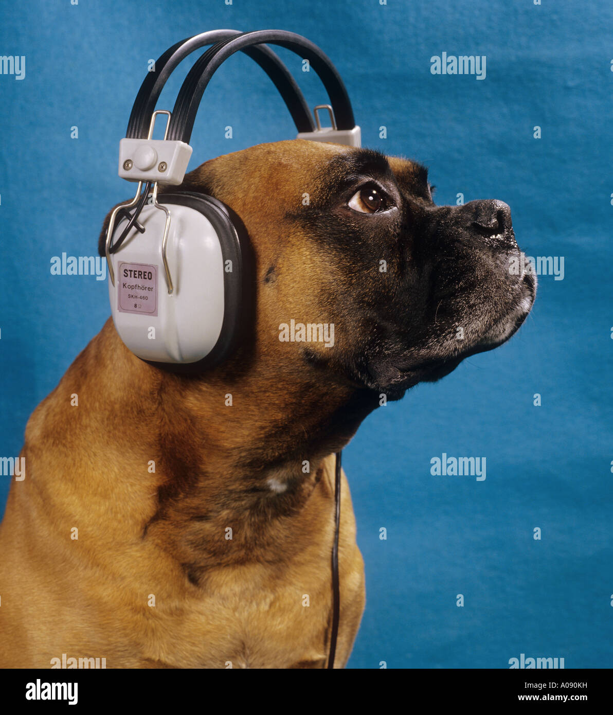 Boxer with headphone - funny Stock Photo