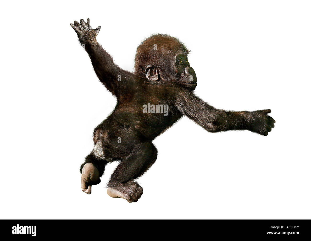 Apes Cut Out Stock Photos & Apes Cut Out Stock Images - Alamy