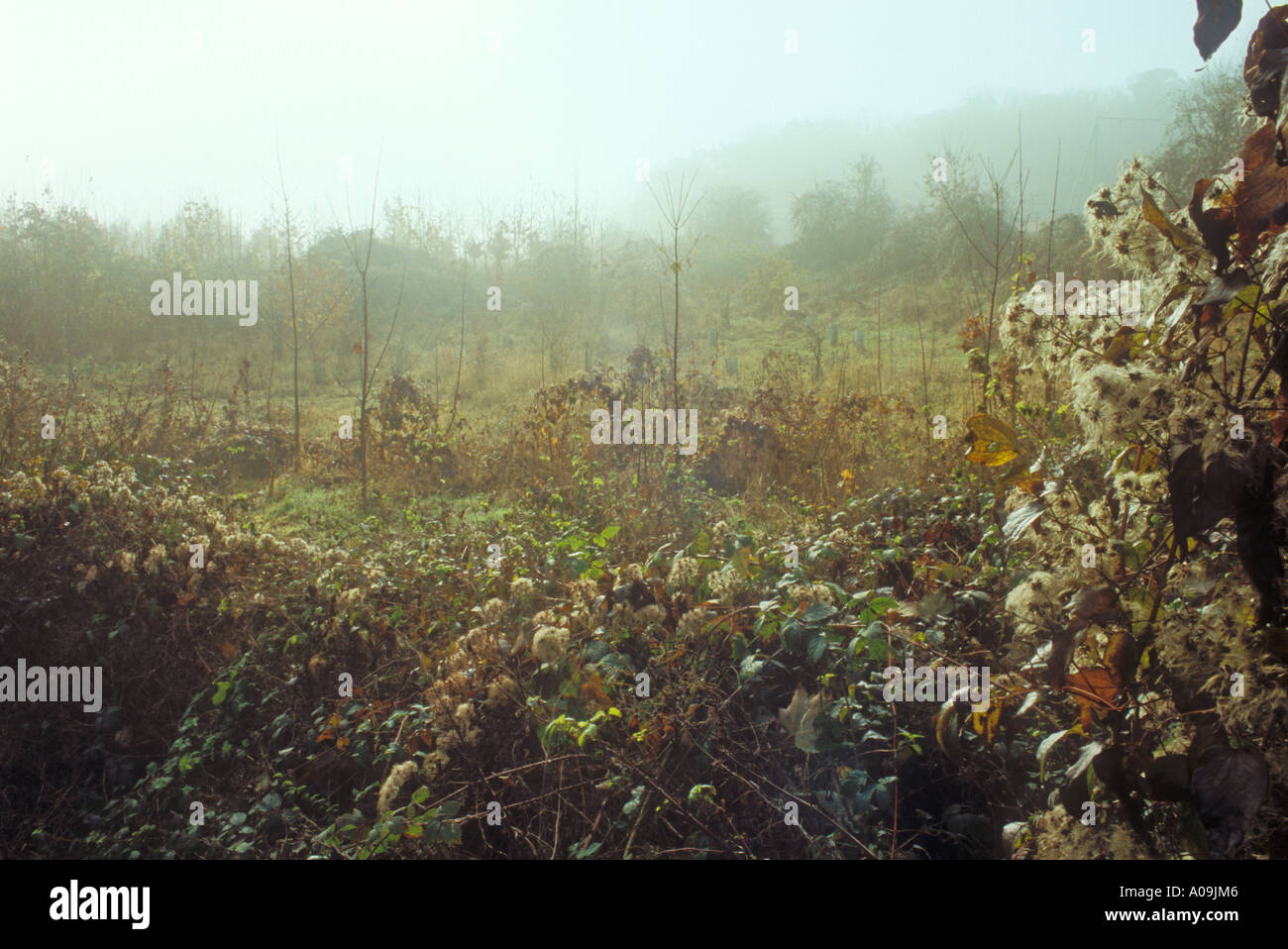 Young plantation in autumn with foreground showing Old Mans Beard or Travellers Joy - Stock Image