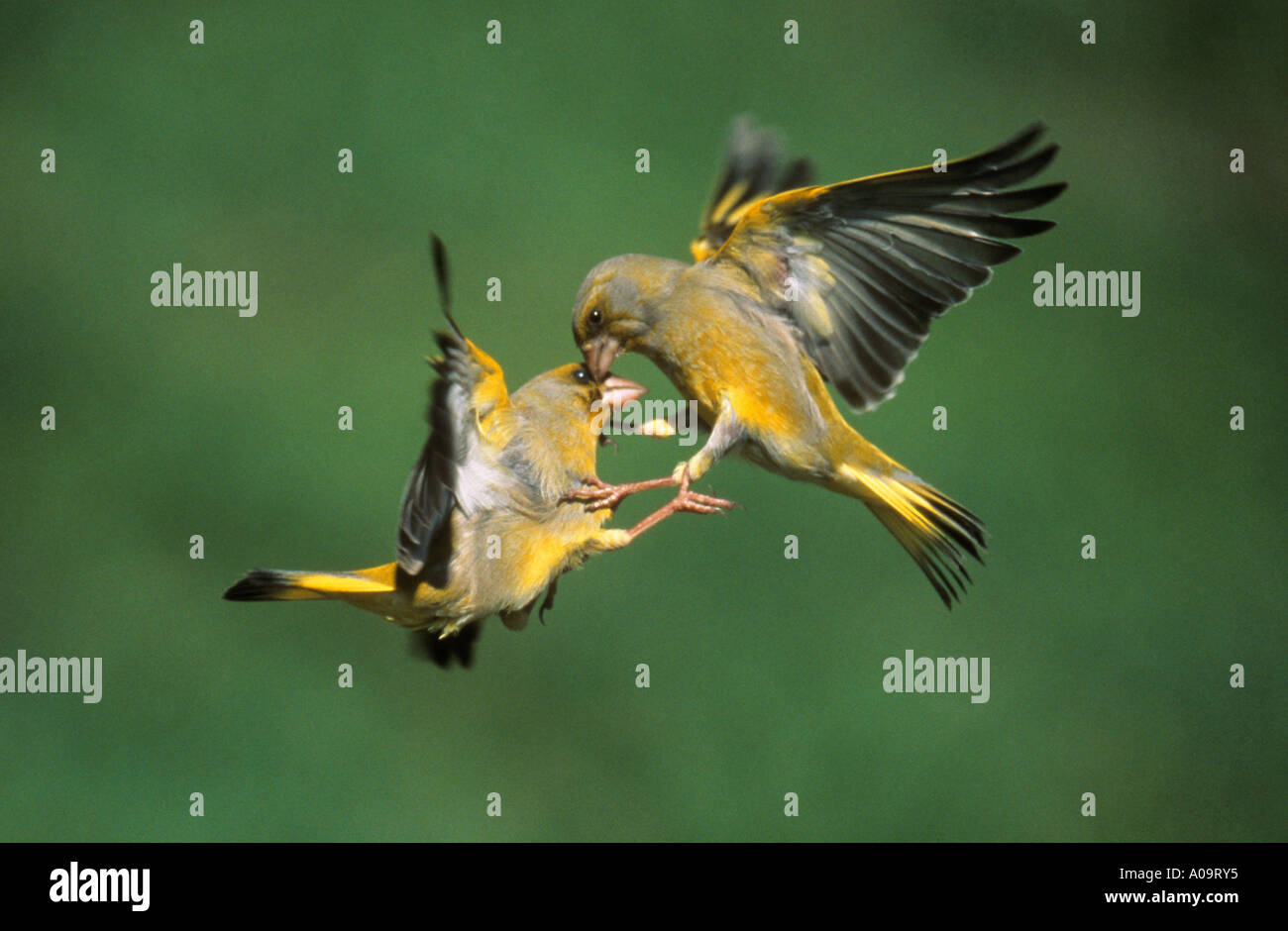 two greenfinches fighting Carduelis chloris - Stock Image