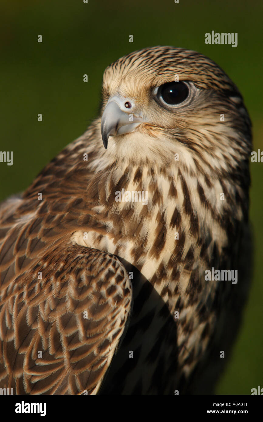 Portrait of a Peregrine - Stock Image