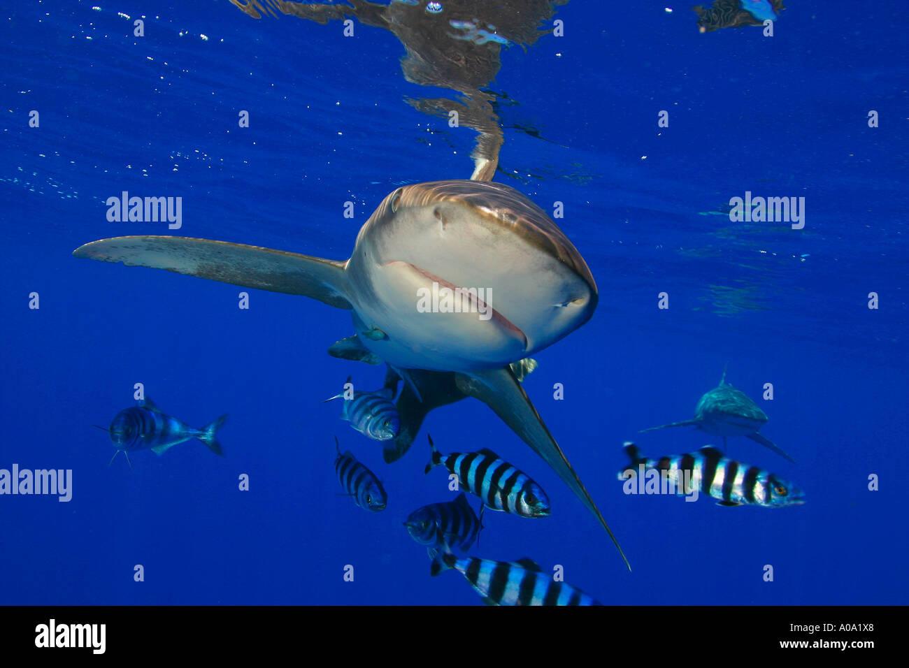 OCEANIC WHITE TIP SHARK CARCHARHINUS LONGIMANUS WITH PILOT FISH HAWAII - Stock Image