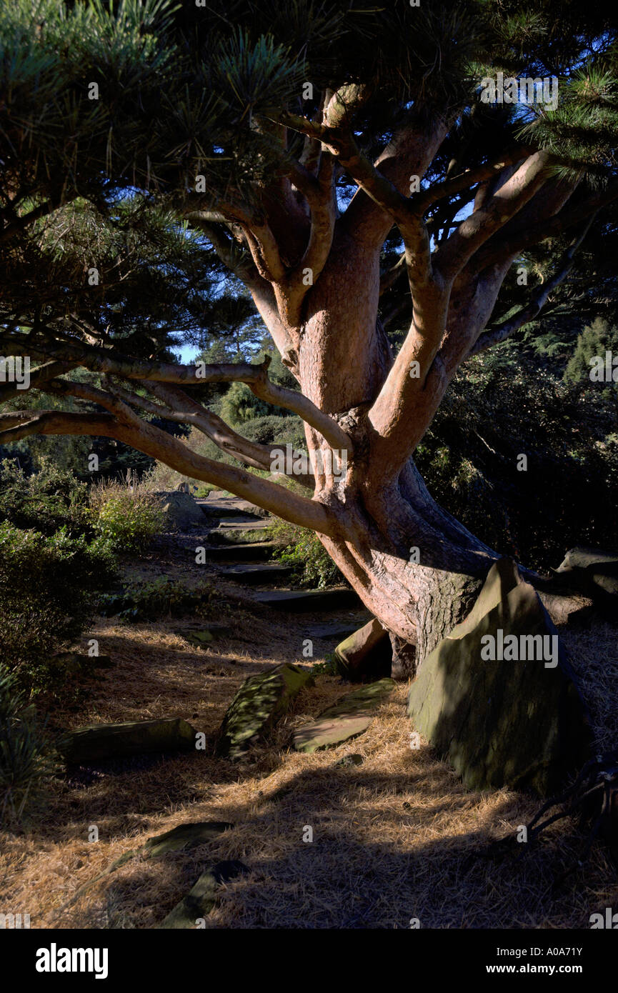 Gnarled Old pine in Japanese Rock Garden Royal Botanic Garden Edinburgh Inverleith Autumn colours - Stock Image