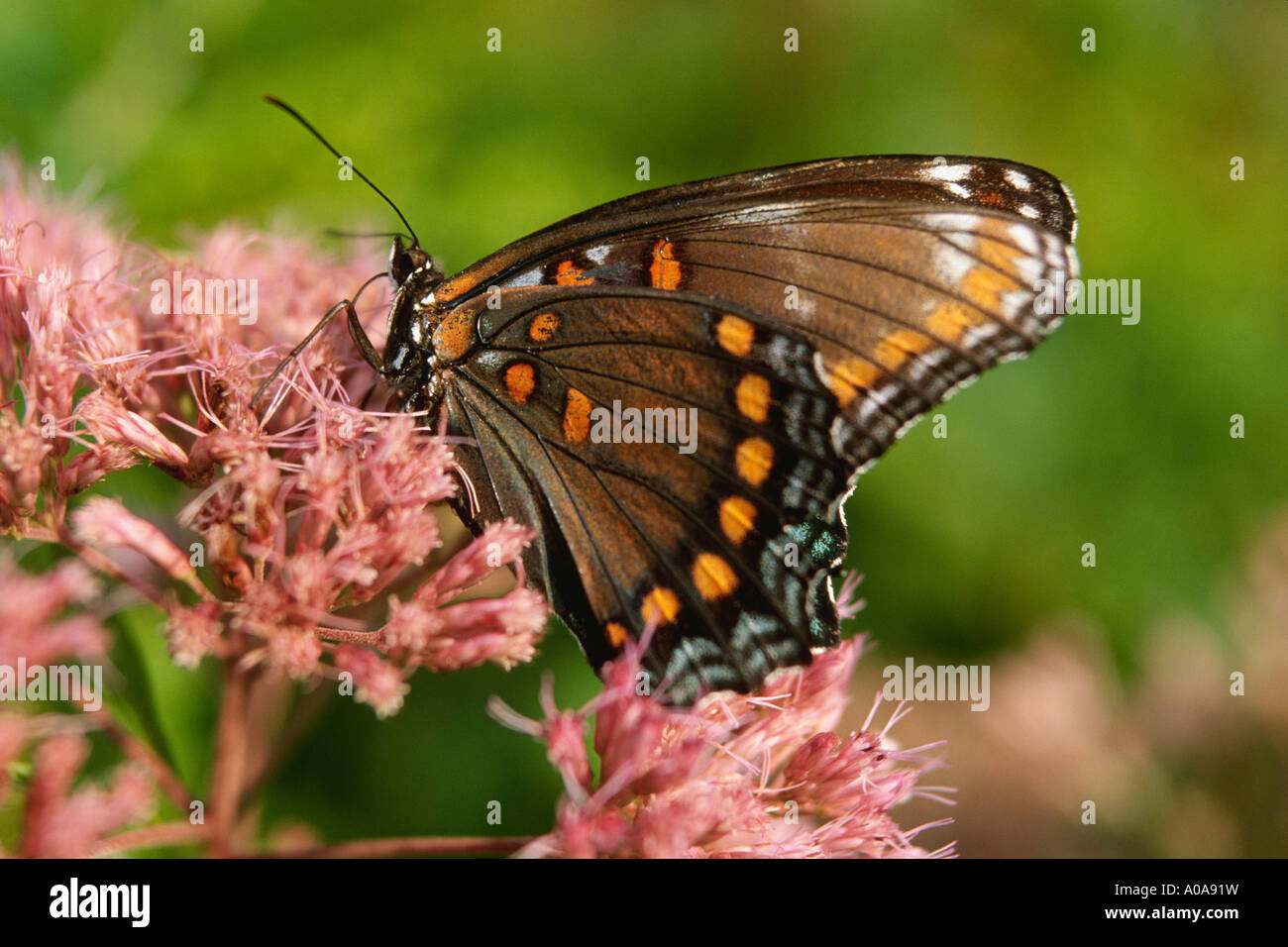 Red-spotted purple butterfly (Limenitis arthemis astyanax) - Stock Image