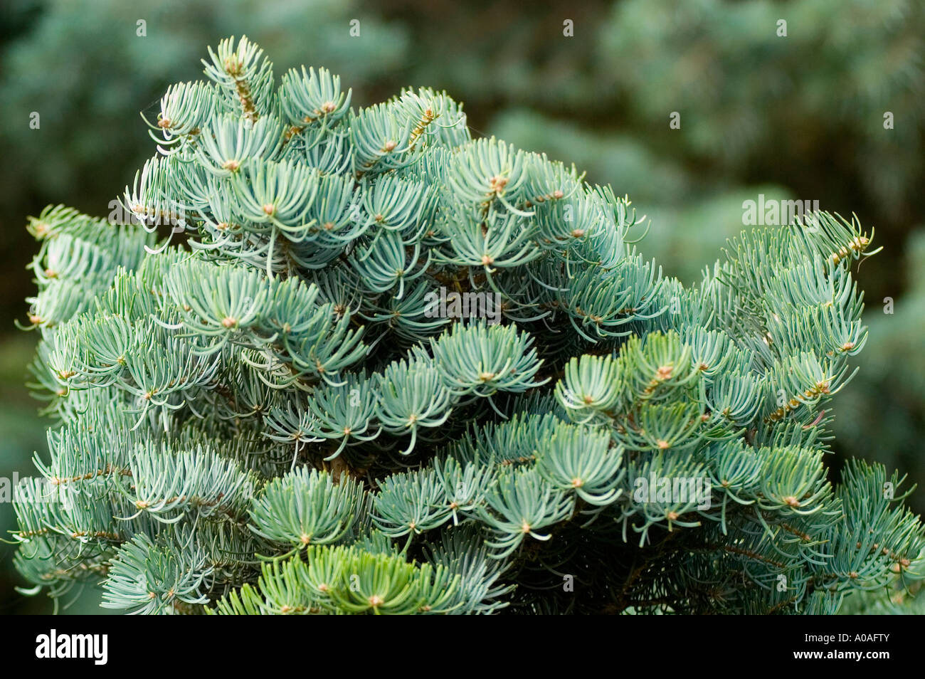 White Fir Pinaceae Abies Concolor Var Compacta Stock Photo 9933914